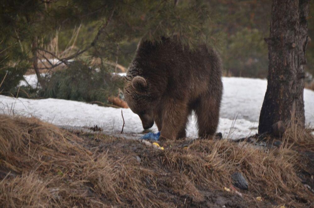 Kış mevsimini ilçedeki sarıçam ormanlarında geçiren bozayılar, havaların ısınmasıyla kış uykusundan yavaş yavaş uyanıyor. Sarıçam ormanlarının karla kaplı olması nedeniyle yiyecek bulamayan bozayılar, karınlarını doyurmak için yavrularıyla ilçe merkezine kadar iniyor.