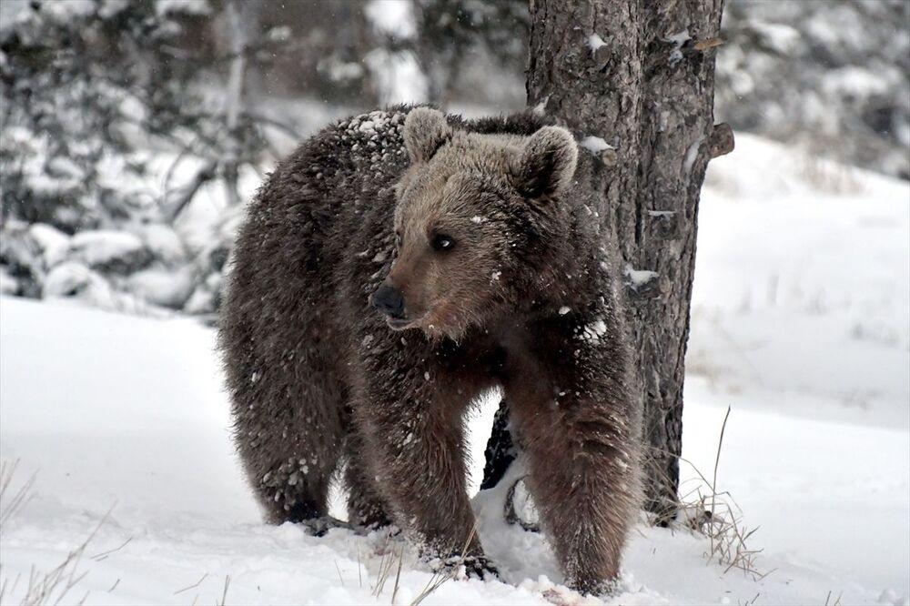 Vatandaşlardan Şenay Vanlı, havaların yavaş yavaş ısınmasıyla ayıların kış uykusundan uyandığını söyledi. Bozayıların mahallelere kadar indiğini ifade eden Vanlı, Özellikle akşamları çok rahat geziyorlar. Şu anda da arkamda ayı yiyecek arıyor, herkesin dikkatli olması lazım dedi.