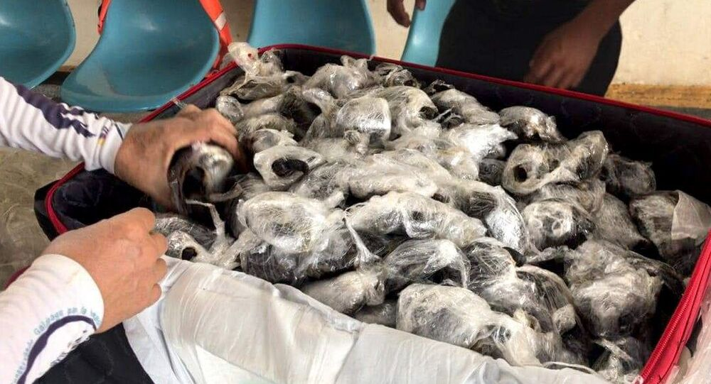 Ekvador'da bir yolcunun valizinde poşete sarılı 185 yavru kaplumbağa ele geçirildi