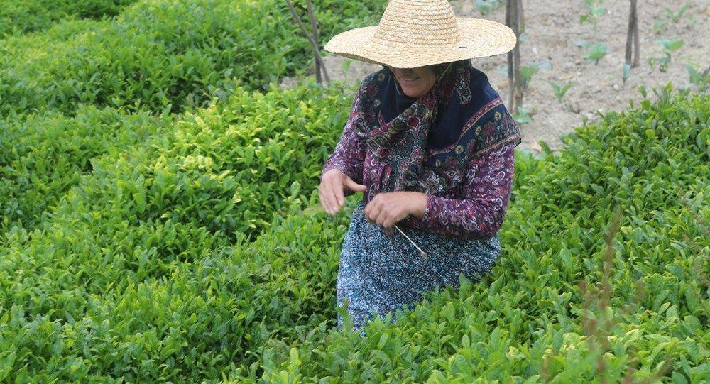 çay hasadı, Karadeniz