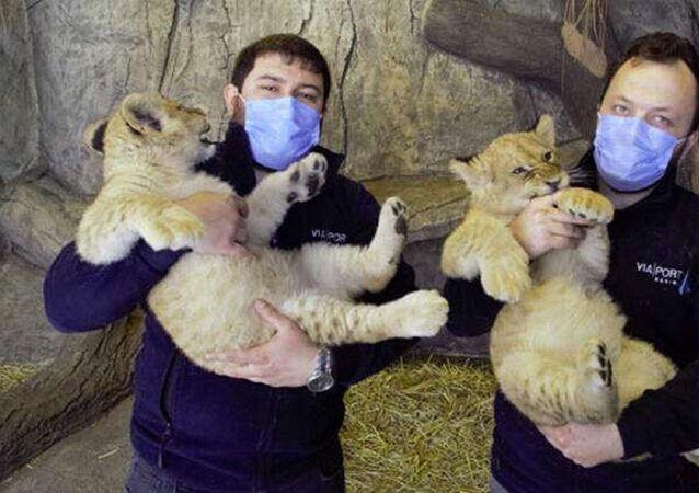 Yılın ilk yavru aslanları
