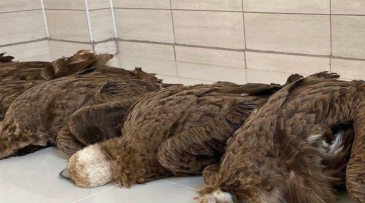 Afyon'da zehirli etlerden öldüğü iddia edilen akbabalar