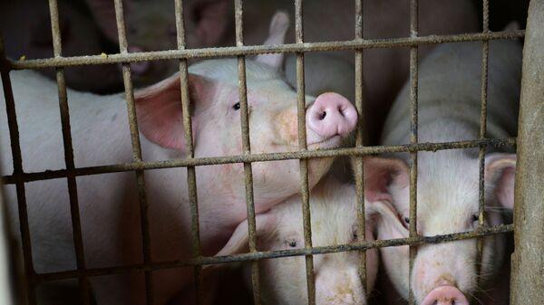 Çin - domuz - domuz çiftliği - Sputnik Türkiye