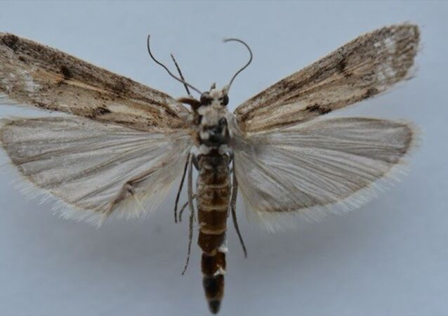 Ağrı Dağı'nda yapılan araştırmalarda yeni bir kelebek türü belirlendi.