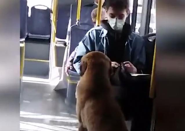 Belediye otobüsünde takılan köpek
