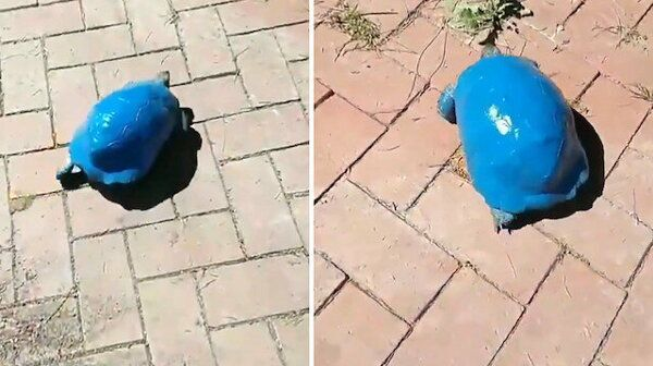 Antalya'da kimliği belirsiz kişi ya da kişiler, bir kara kaplumbağasını mavi renge boyadı.