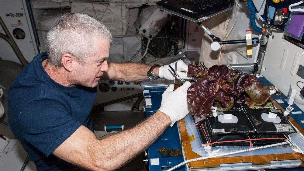 ABD'li astronot Steve Swanson, UUİ'de yetiştirdikleri kırmızı marul toplarken