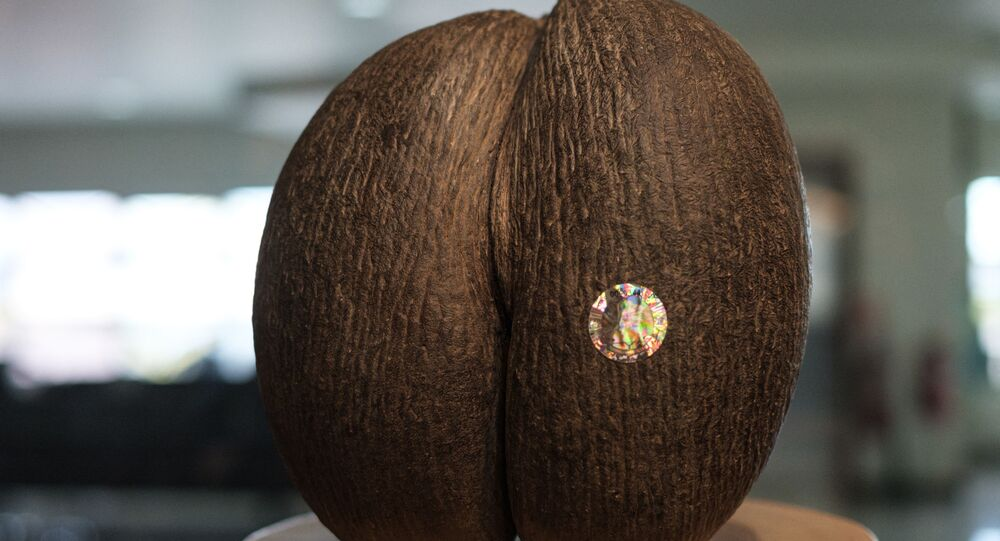 Dünyanın en büyük tohumu 'coco de mer'den 8 bin tane kaldı: Meyve vermesi 50 yıl sürüyor
