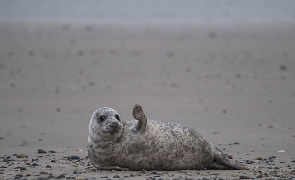 Kuzey Denizi'ndeki Helgoland Adası'nda görüntülenen gri mühür