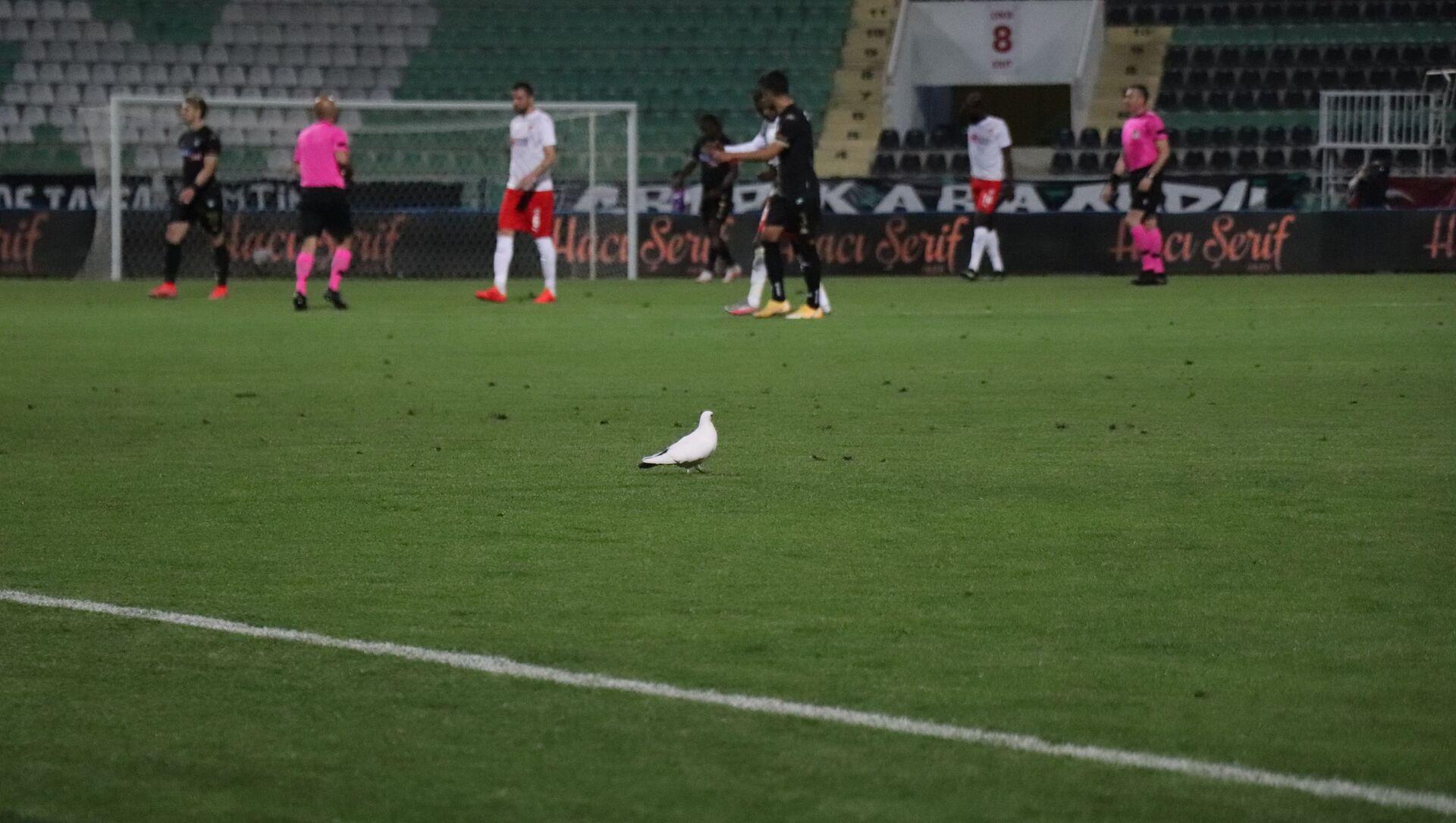 Süper Lig'in 37. haftasında oynanan Denizlispor - Sivasspor karşılaşmasında maç esnasında stadyumun üzerinde gezen beyaz güvercin yeşil sahaya indi ve yedek kulübesi tarafından bırakılan su kabından su içti. - Sputnik Türkiye, 1920, 24.04.2021