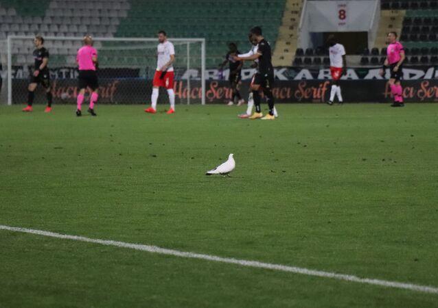 Süper Lig'in 37. haftasında oynanan Denizlispor - Sivasspor karşılaşmasında maç esnasında stadyumun üzerinde gezen beyaz güvercin yeşil sahaya indi ve yedek kulübesi tarafından bırakılan su kabından su içti.