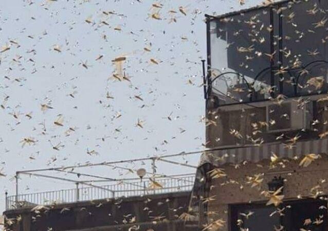 Şam'da çekirge istilası