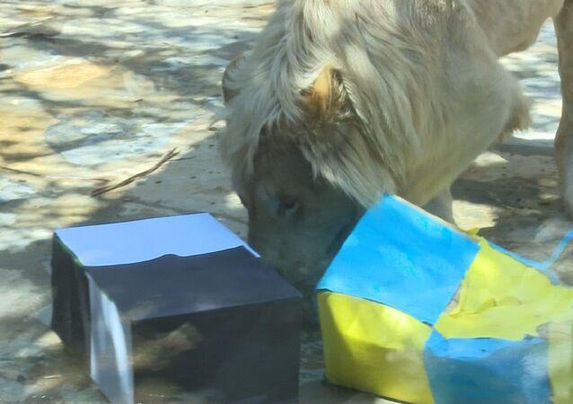 İstanbul Tuzla'da bulunan Aslan Park'ta dünyaya gelen beyaz aslan Pamuk
