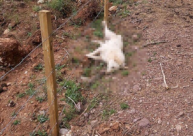 Zehirlenerek öldürülen köpekler