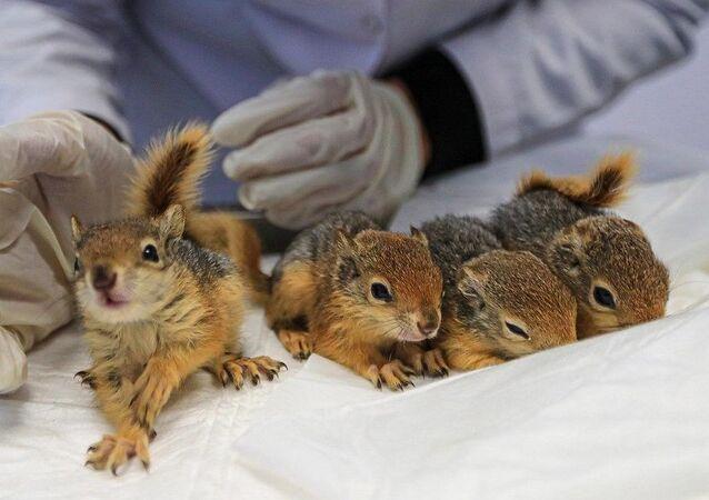 Ölmek üzereyken bulunan 4 yavru sincap hayata tutundu