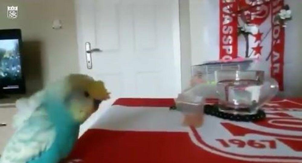 Sivasspor taraftarı muhabbet kuşu