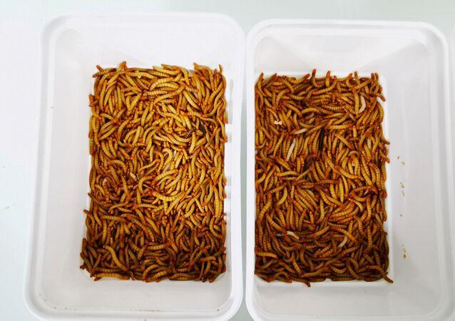 Böcek bazlı hayvan yemi ve gübre için un kurtları üreten böcek çiftliği Ynsect'in laboratuvarındaki kaplar (Fransa, Dole)