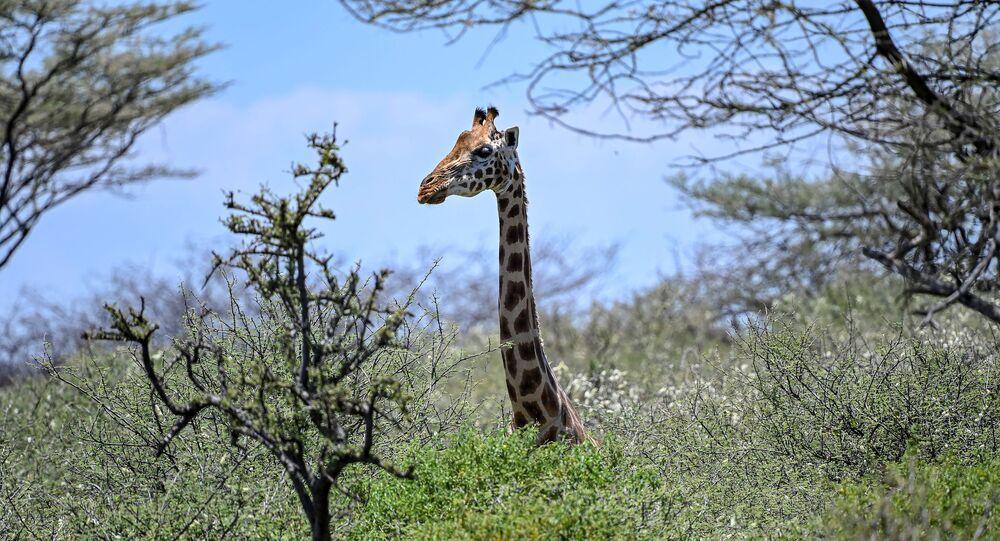 Zürafa- Vahşi yaşam