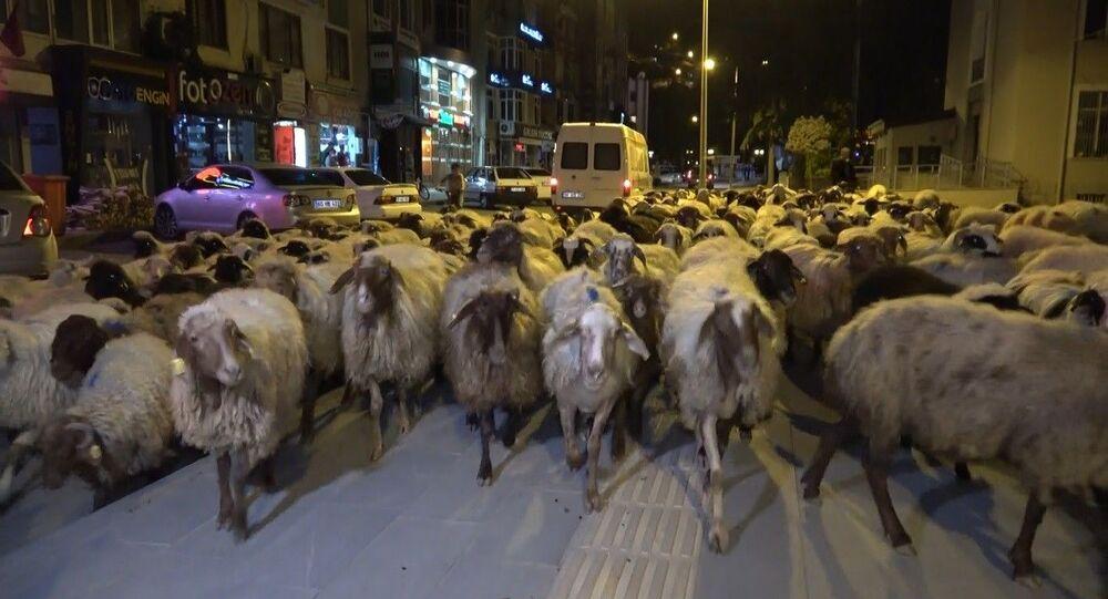 Tokat'ta yaylaya göç eden koyun sürüsünün şehir merkezinden geçmesi ilginç görüntüler oluşturdu.