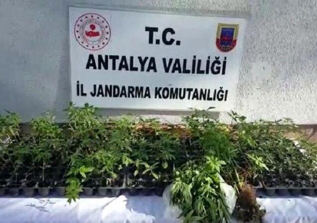 Fasulye serasında kenevir-Antalya