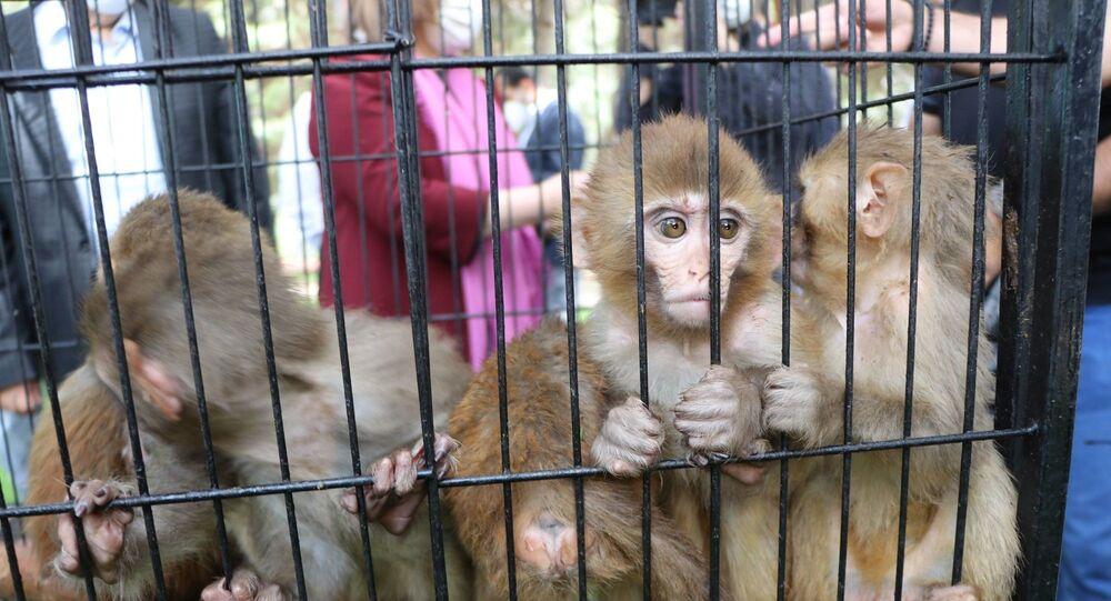 Ağrı'nın Doğubayazıt ilçesinde bulunan Gürbulak Gümrük Kapısı'nda bir araçtaki 2 kafes içerisinde bulunan ve yurda kaçak yollarla sokulmak istenen 12 makak maymunu, Gümrük Muhafaza Kaçakçılık ve İstihbarat Müdürlüğü ekiplerince yakalandı.
