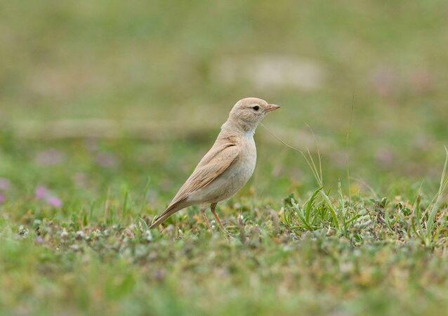 Küçük Çöl Toygarı / nadir kuş türü
