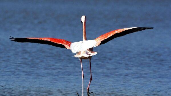 Flamingo - Sputnik Türkiye