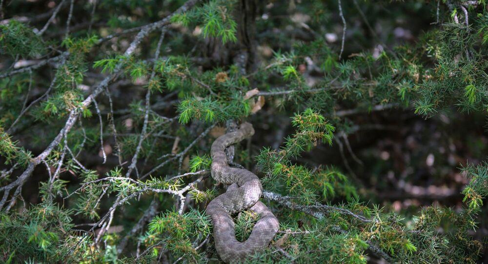 'koca engerek' yılanı