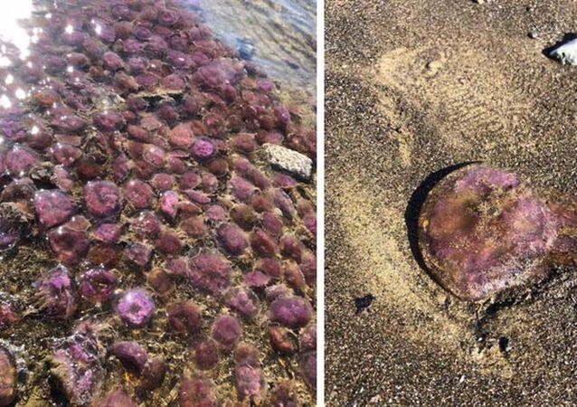 Mor renkli, zehirli denizanaları kıyıya vurdu