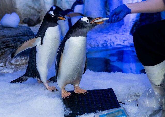 Londra akvaryumunda eşcinsel penguenler çiftleşme ritüellerine başladı