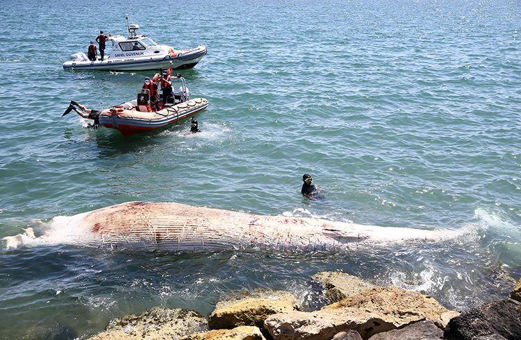 Mersin sahiline 8 metrelik oluklu balina vurdu