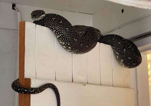 Avustralya'da bir evin çamaşır odasından 3 metrelik piton çıktı