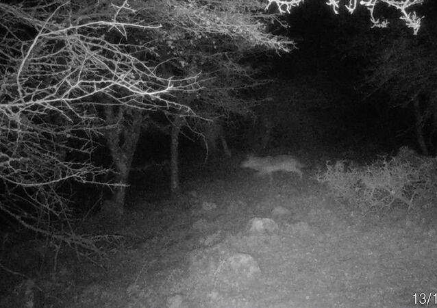 İzmir'de uzun yıllar sonra ilk kez kurt görüntülendi