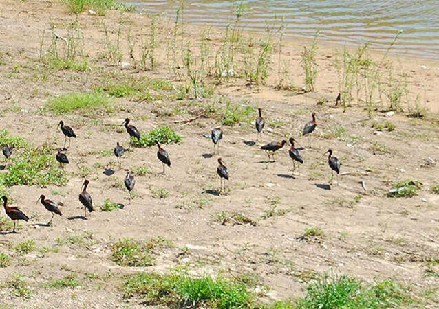 Kara leylekler, Fatsa'da görüldü