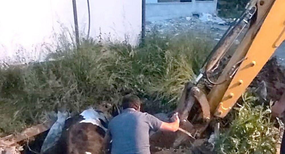 Çukura düşen inek iş makinasıyla kurtarıldı