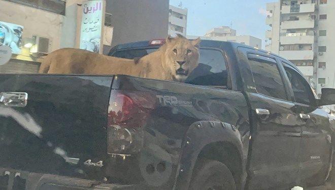 Libya'nın başkenti Trablus'ta bir aracın kasasında gezdirilen aslan görenleri şaşırttı.