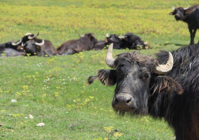 """Manda Üreticisi ve Yetiştirici Murat Yılmaz, """"Manda sağlık açısından iyi bir hayvan. Hastalığa karşı çok dirençli. Hastalık bulaştırma riski olmayan bir hayvandır. Sığır gibi değildir. Kendi imkanları ile doğum yapabilen bir hayvandır. Bufalo ırkından gelen bir hayvan olduğu için bağımsızdır. Buralarda dolaşsak bir hayvanın kendisi yavru yaptığını görebiliriz. Doğumda manda yardım almaz. Sığırda hayvan yavru yapacak sabaha kadar başında bekliyorsun. Ama manda bu konularda çok iyi konumda. Yeme konusunda sığırın yemediği şeyleri yiyebiliyor. Sap gibi mesela. Sığır bu konularda hassastır. Manda ayırt etmez her şeyi yer. Bakımı kolaydır. Sadece fark olarak mandanın gezdiği yerde yazın su veya çamur türü şeyler olacak yatması için"""" ifadelerinde bulundu."""