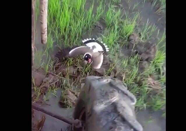 Bir kuşun yuvasını traktör tarafından yıkılmaktan kurtarması, kameraya yansıdı