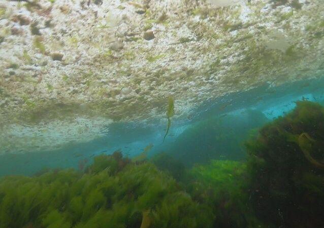 Dalgıç İsa Şahintürk, Kadıköy Sahili'nde Marmara'nın dibini saran deniz salyalarını su altı kamerası ile görüntüledi. İsa Şahintürk, Günden güne oltayla avladığımız balıklar azaldığı için dalış yapıyorum. Hem su altı canlılarını inceliyorum hem de dalış yaparak balık avlıyorum dedi.
