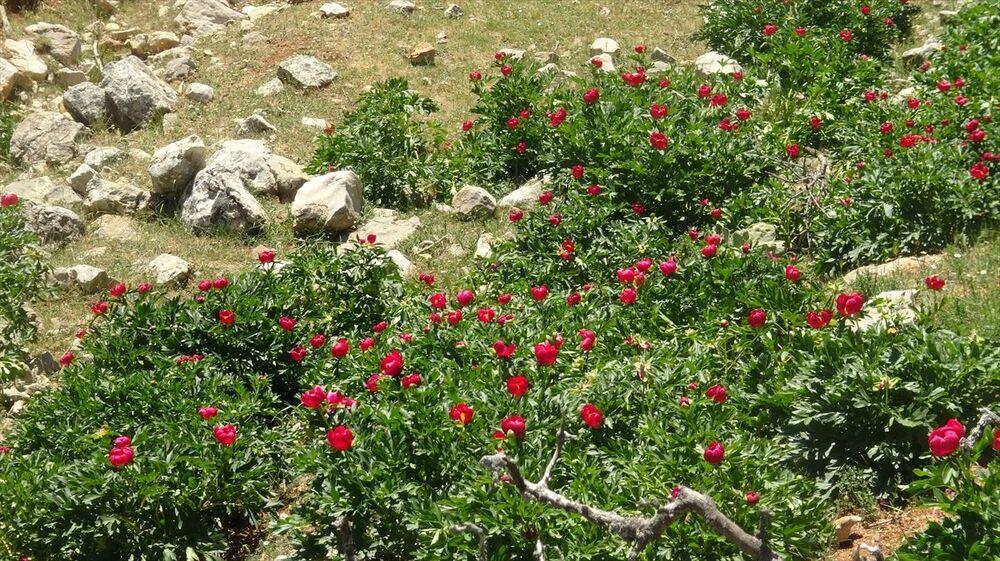 Doğa Koruma ve Milli Parklar 5. Bölge Müdürlüğü tarafından takip edilen çiçeği, koparıp biyokaçakçılıkta kullananlara 80 bin 465 lira ceza veriliyor.