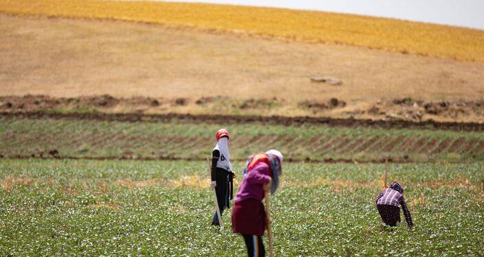 Diyarbakır'da, tarlada çapa yaparak geçimleri sağlayan tarım işçileri, eve ekmek götürme telaşında.