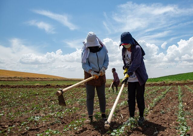 Sputnik'e konuşan işçilerin sorumlusu İhsan Yavuz, kuraklığın çiftçileri de tarım işçilerini de olumsuz etkilediğini söylüyor.