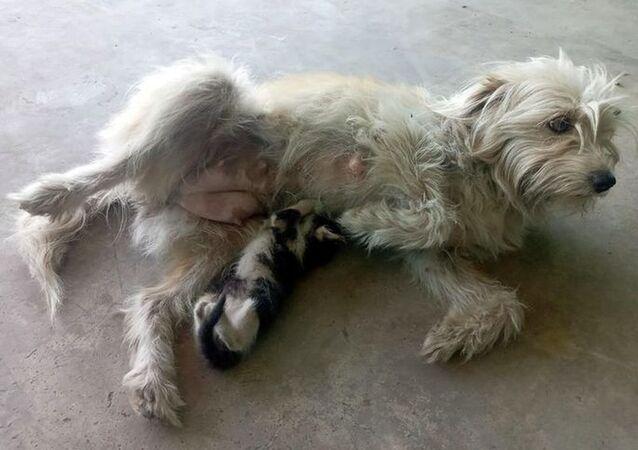 Annesinin terk ettiği yavru kediyi Latte isimli köpek emziriyor