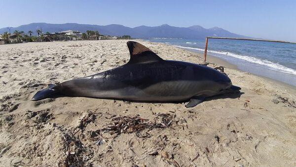 Aydın'ın Kuşadası ilçesinde, Kuşadası Sahil Güvenlik Komutanlığı tarafından, sahil sitelerine ölü bir yunusun kıyıya vurduğu ihbarı yapıldı.  - Sputnik Türkiye