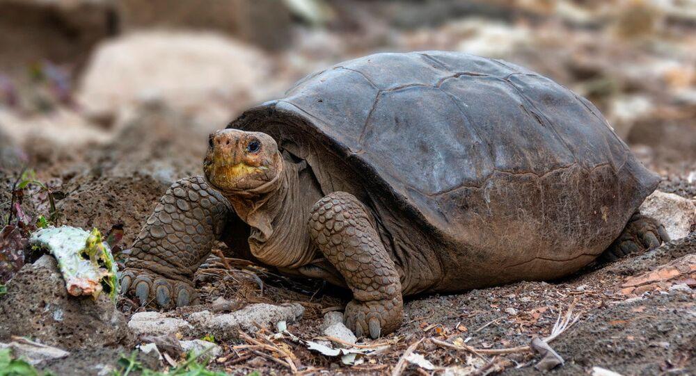 Galapagos Adaları'nda soyunun tükendiği sanılan Chelonoidis phantasticus kaplumbağa türünün hayattaki bir üyesi