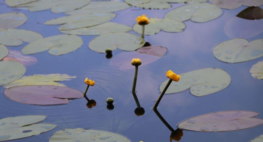 Nilüfer çiçeği