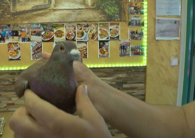 Türk dönerci Recep Kılıç'ın dükkanına giren güvercin