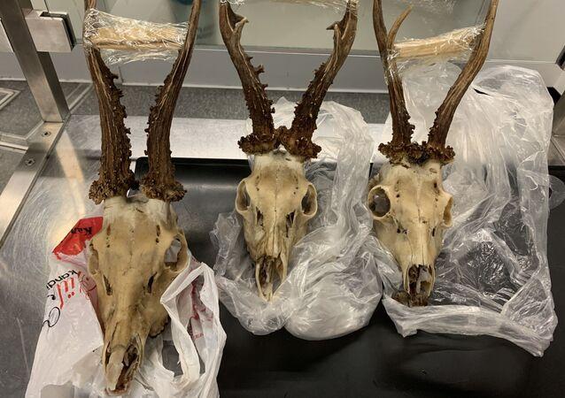 Türkiye'den getirdiği geyik kafataslarını Almanya'ya sokmak isteyen Türk yolcuya para cezası kesilerek, kafatasları imha edildi.