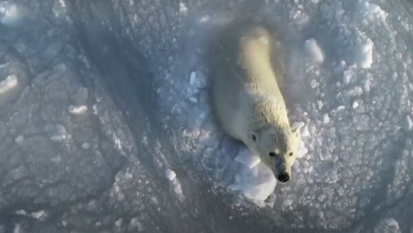 Rus fotoğrafçı, buzlu sularda eğlenen kutup ayılarını drone ile görüntüledi - Sputnik Türkiye