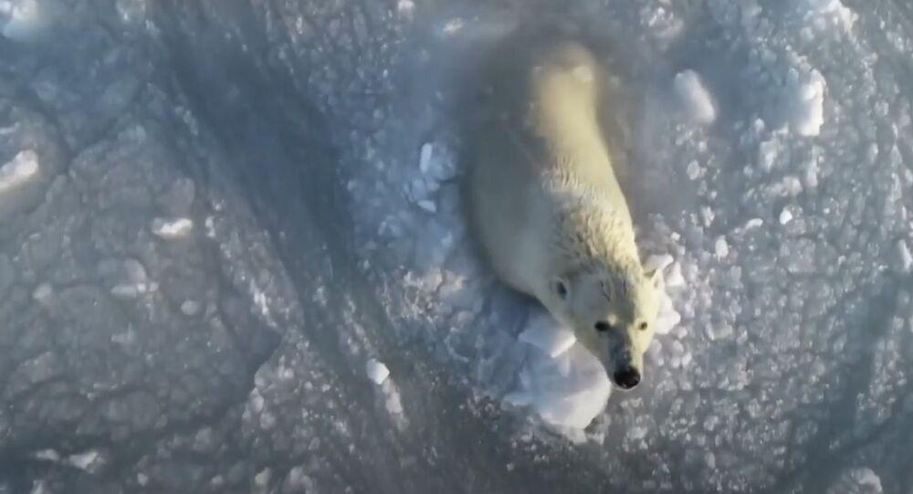 Rus fotoğrafçı, buzlu sularda eğlenen kutup ayılarını drone ile görüntüledi